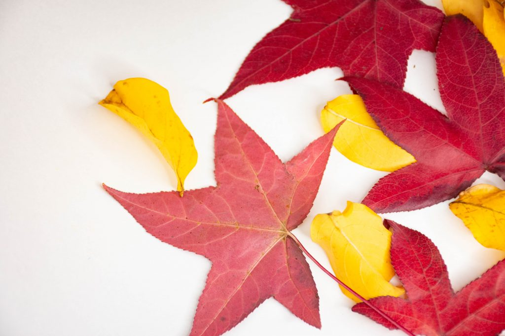 red and yellow leaves on white surface